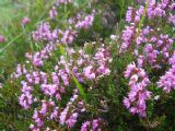Common Heather 500 seeds - FREE POST